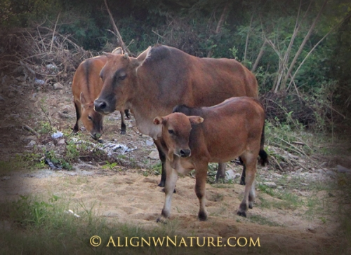 Cow-Family-2